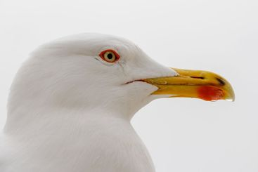 Closeup of the head of a seagull