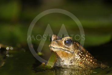 Black Spined Toad in the water