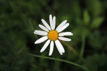 Close up of a daisy flower head from above