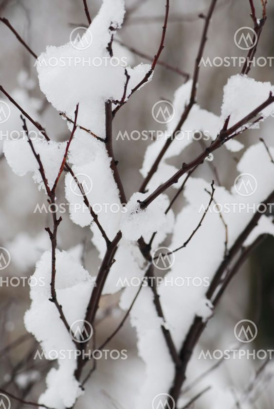 Snow covered branches