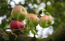 ecological red apples