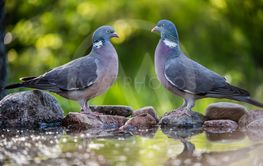 Common Wood Pigeons meeting at the waterhole