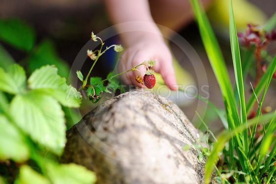 Little child hand picking sweet wild strawberry