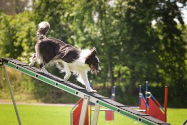Crazy border collie is running in agility park on dog walk.