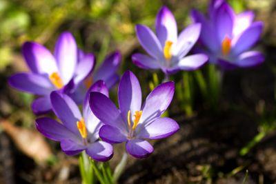 Purple and white spring crocus