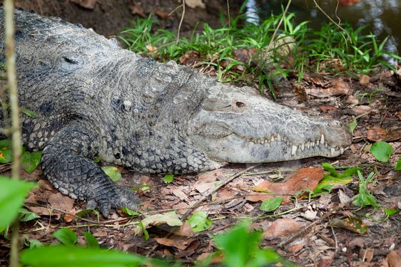 Crocodile Profile