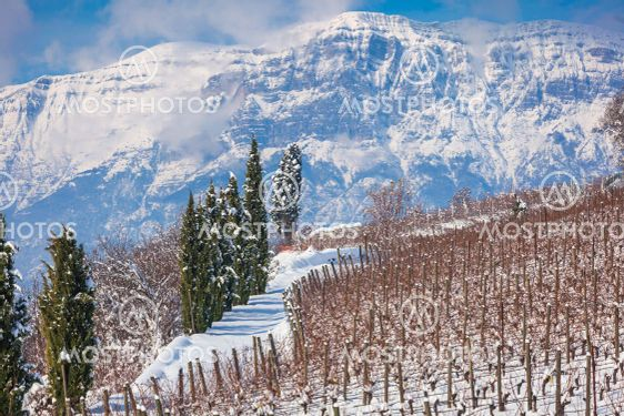 Vineyard rows and cypresses on a hill in Trentino-Alto...