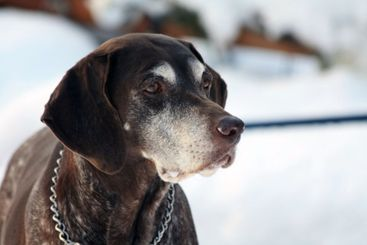 German shorthaired pointer in the snow