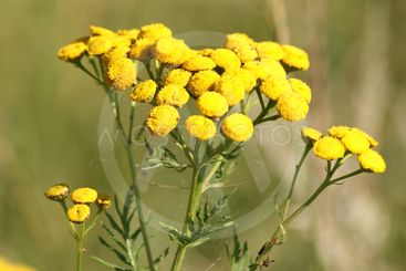 Blooming tansy in summer
