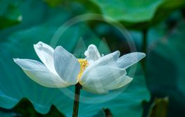 Beautiful white lotus flower