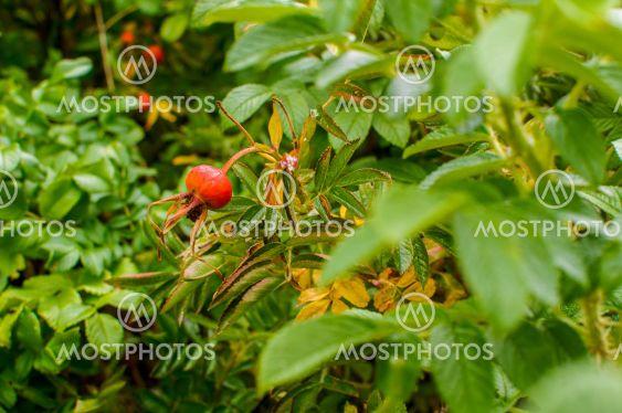 Rosa rugosa, ripening fruit, spherical colored