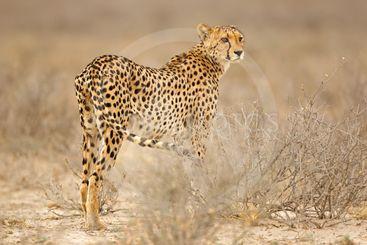 Cheetah in natural habitat