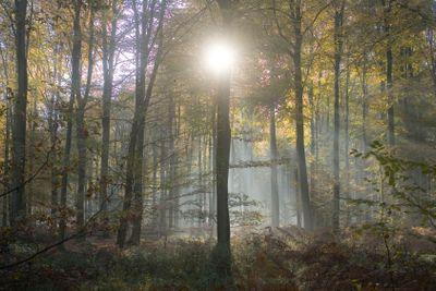 france, forêt de lyons : soleil entre les hêtres et...