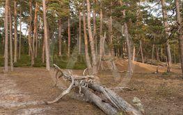 Dött träd på marken i Bödaskogen på Öland