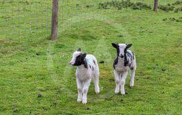 Two cute lambs in a green field