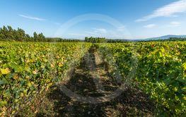 Vineyard at Moncao in Portugal