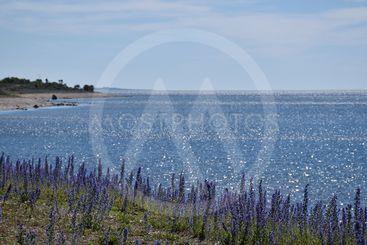 Glittrande blått vatten och blommande blåeld vid Knisa...