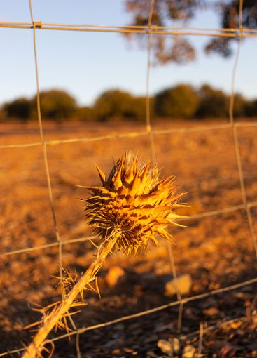 Dried thistles in the field of a village in pain
