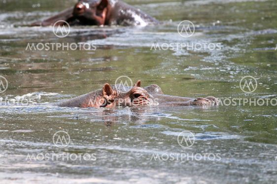 Flodhästar (flodhäst amphibius)