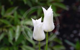Two buds of white tulips with drops of water after a rain