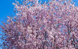 Flowering pink cherry tree
