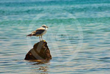 A beautiful bird sitting on a rock in the sea. (Larus...