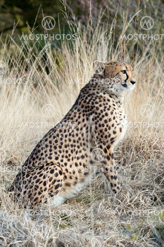 Lähikuva kaunis cheetah