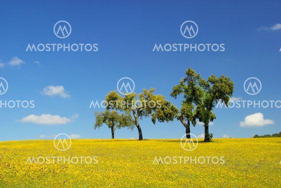 Wiese mit Korkeichen - meadow and cork oaks 07
