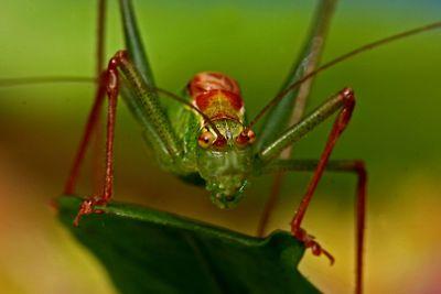 Grasshopper_250