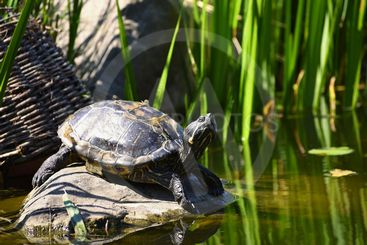 A beautiful turtle on a stone wild in nature by the pond....