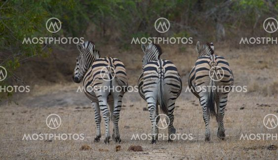 Zebra ryhmän