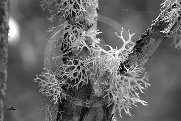 Reindeer lichen growing on tree