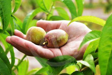 persika frukt