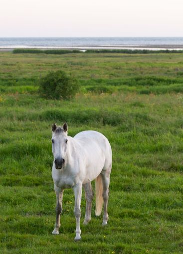 Vacker vit häst på strandbete - Silvertid