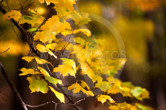 close up image of maple leaves
