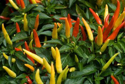 Thai Chilli Pepper Plant