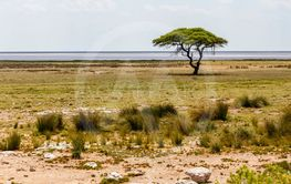 Ethosha Pan with Tree, Namibia