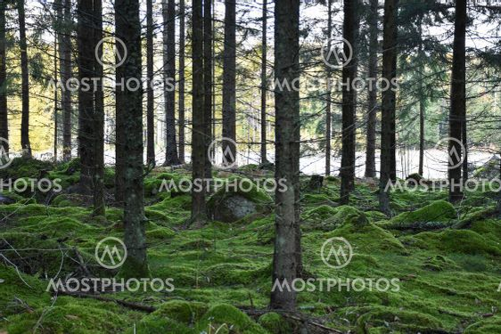 Mossig grön granskog i Hornsö Ekopark i Småland