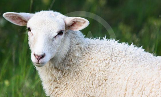 Ett lamm