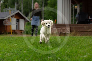 Golden retriever puppy playing on the grass.