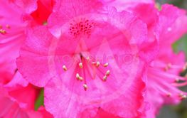 Rhododendron Flowers.