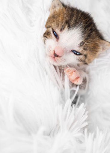 small cute newborn kitten on a white fluffy blanket. Pets