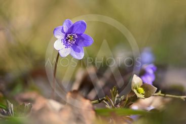 Spring flower. Beautiful blooming first small flowers in...