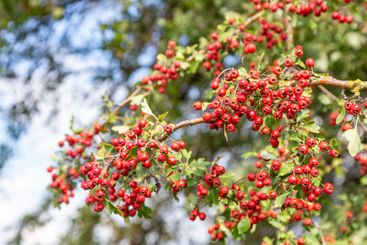Hawthorn beries on a tree