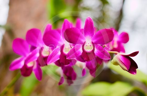 Lila Orchid