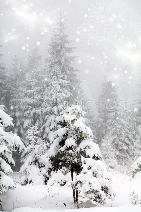 Frost covered pine trees in snow