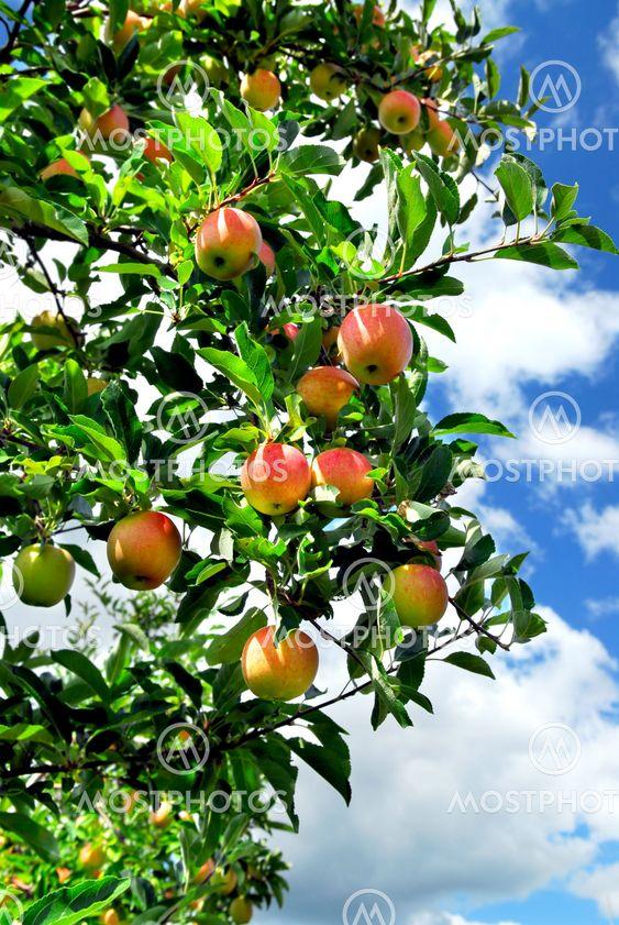 Omenoiden