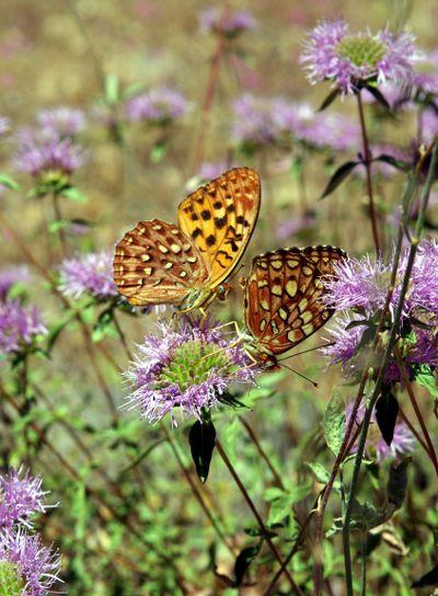 Two Butterflies On A Wildflower