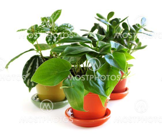 Valikoima teatteriaiheisia houseplants