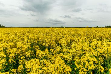 Beautiful summer landscape yellow rapeseed field and...